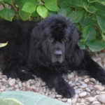 Newfoundlands Take Over Author Chandra Hoffman's Blog!