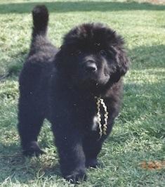 Jessie puppy